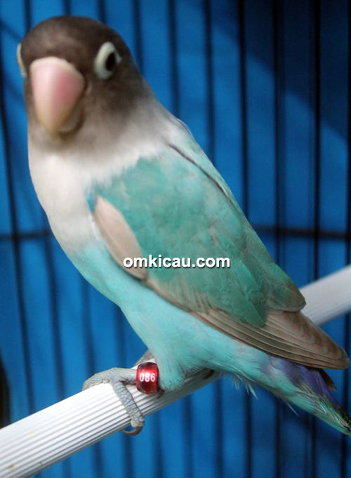 Lovebird Baday