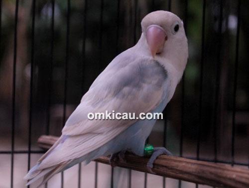 Lovebird Bludru