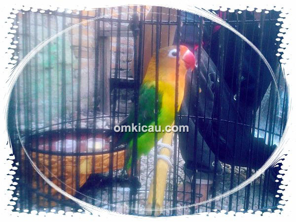 Lovebird Rio milik Om Nico