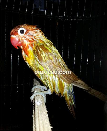 Lovebird Sukhoi