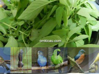 Manfaat daun kemanggi untuk burung peliharaan