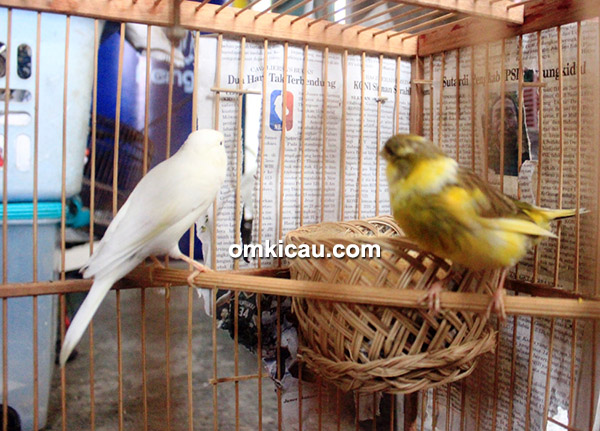 SOB Canary fokus cetak kenari standar kecil