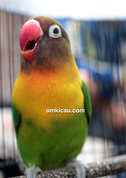 Lovebird Rondo Ngekek