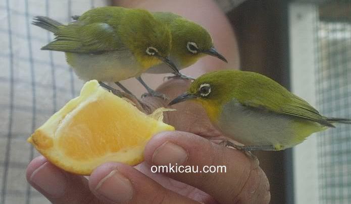 Cara merawat burung pleci