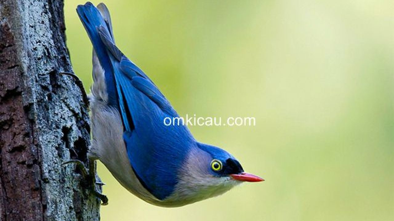 Tips Menjinakkan Burung Rambatan Untuk Masteran Om Kicau