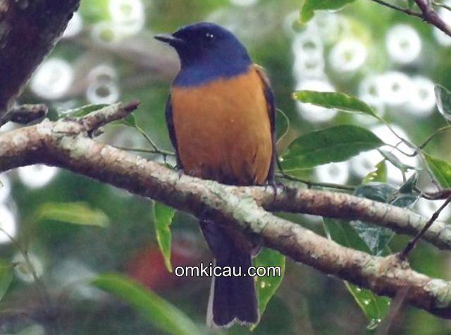 Burung Sikatan Bakung: Mirip Murai Batu, Bersuara Ngerol