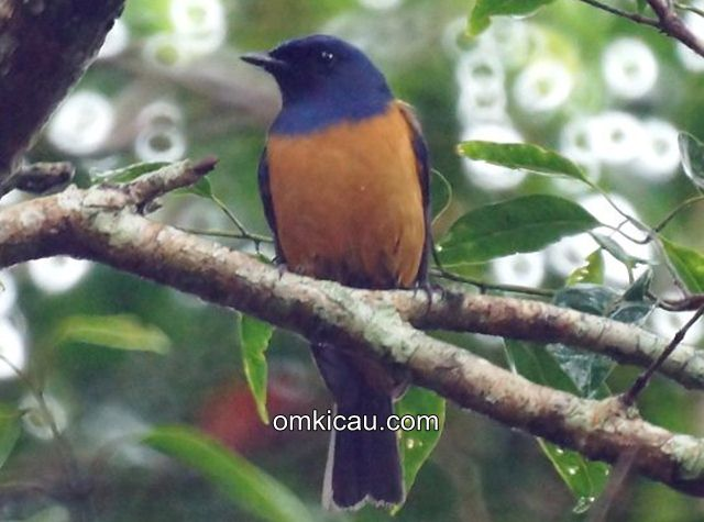 Burung sikatan bakung / Timor blue flycather