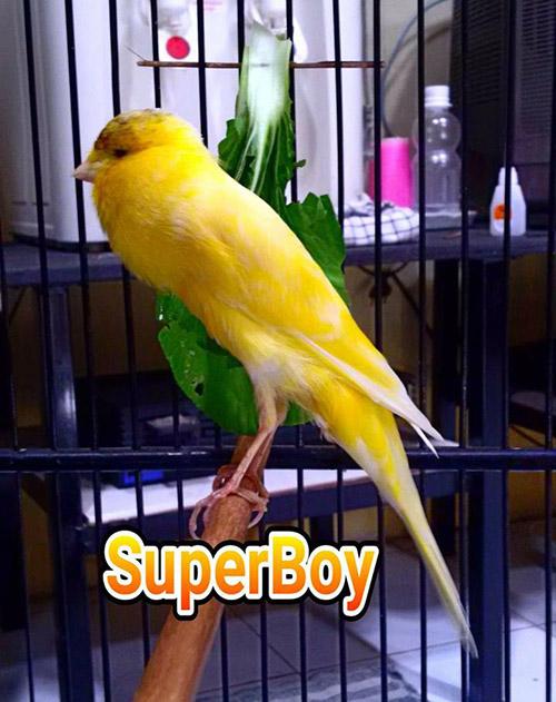kenari Super Boy