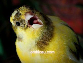 9 langkah mudah perawatan burung kenari agar cepat gacor