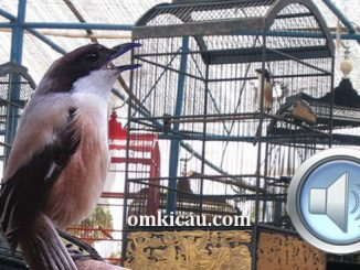 Masteran tembakan unik untuk burung cendet