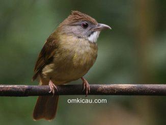 Mengenali ciri-ciri burung cucak jenggot jantan dan betina