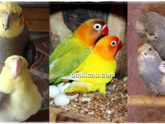 Meracik pakan untuk ternak parkit, lovebird, dan cockatiel