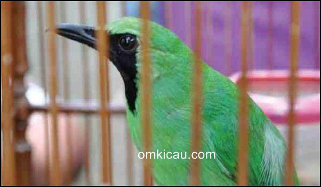 Tips menangani burung cucak hijau yang mendadak lumpuh