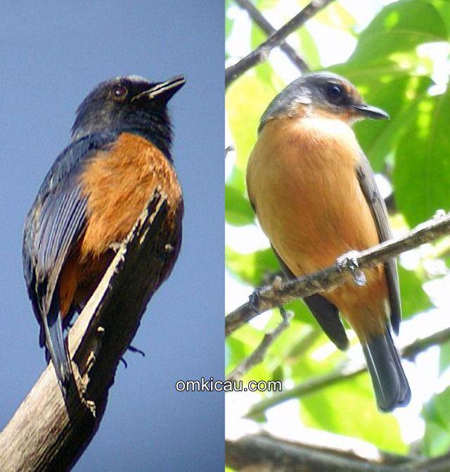 Beda burung sikatan bakung jantan (kiri) dan betina