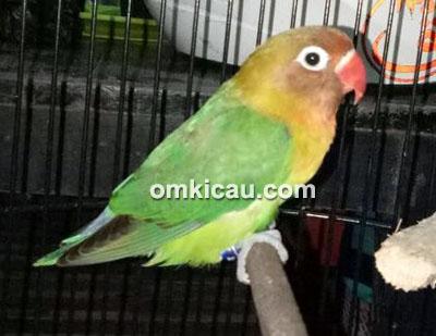 Lovebird Dewa