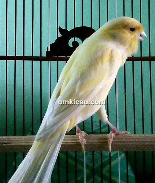 Kenari Ramayana milik Om Sugiarto (Delta Canary)