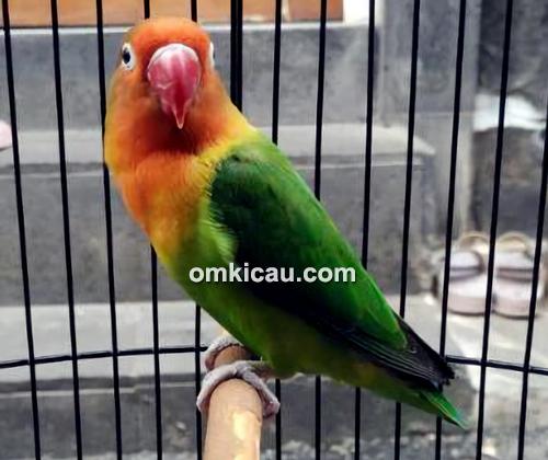 Tips orbitkan lovebird jawara