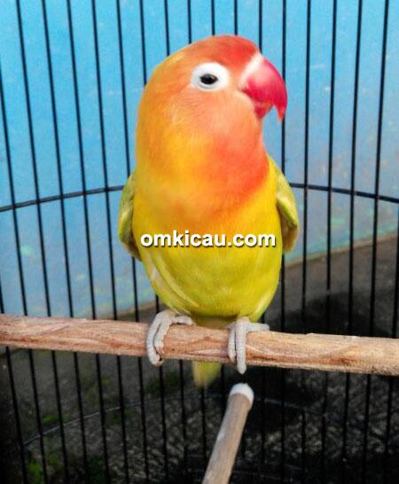 Lovebird Eman milik Om Tulus Prasetyo
