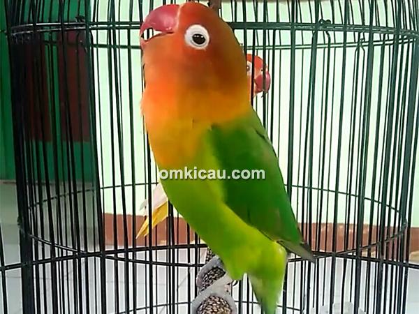 Lovebird Felisha