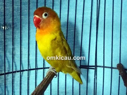Lovebird Pokemon