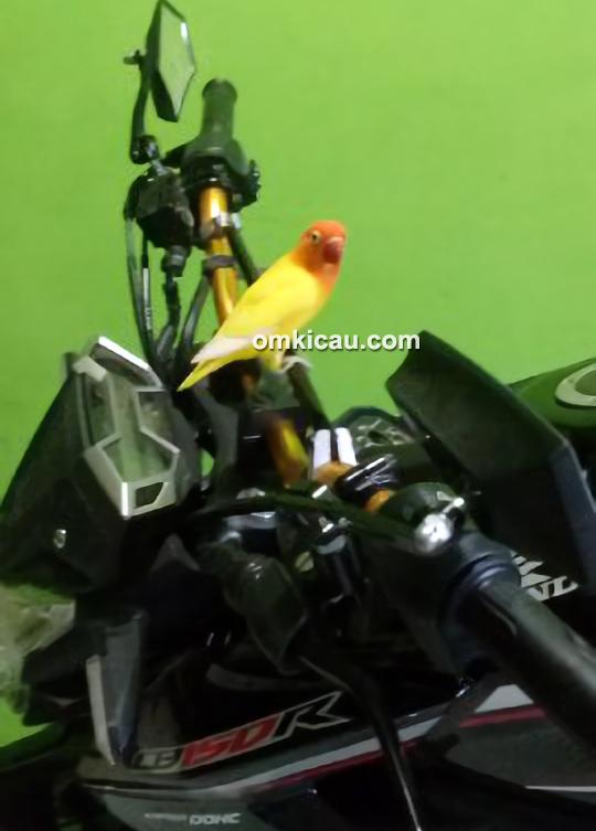 Lovebird Si Kuning