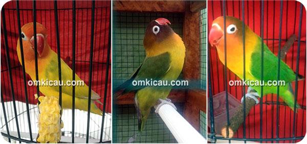 Lovebird andalan Om Ajek Permana