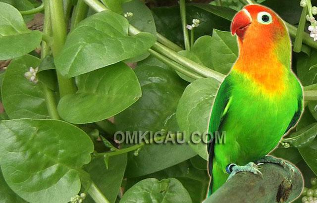 Manfaat daun binahong untuk burung lovebird