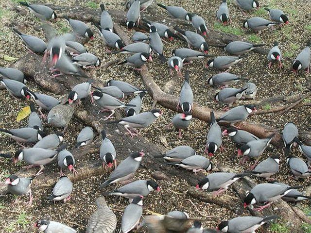 Populasi burung gelatik jawa di Hawaii