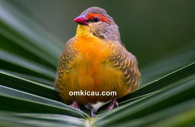 Goldbreasted waxbill atau Orange-breasted waxbill aka Zebra waxbill