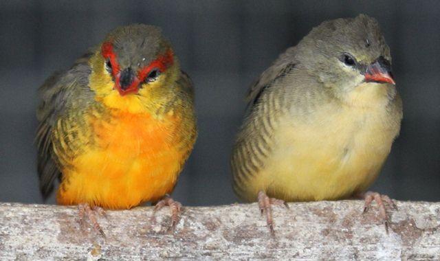 Penampilan burung jantan dengan warna bulu yang cerah (kanan) dan betina dengan bulu berwarna kusam