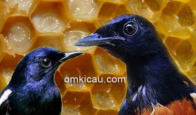 Manfaat larva lebah untuk burung kicauan