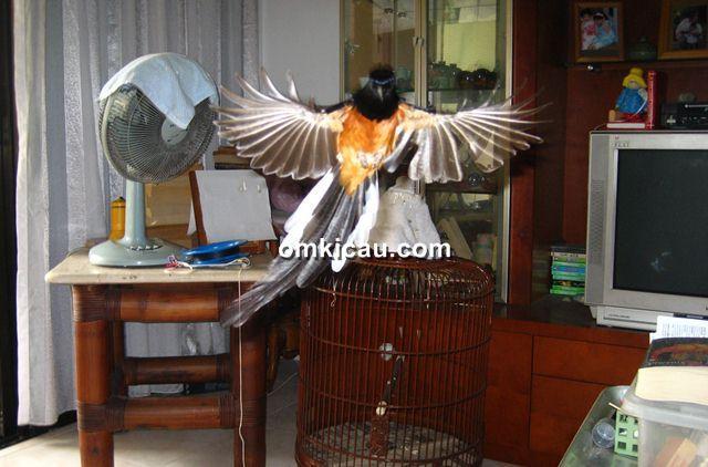 Membangkitkan mental burung dengan Territorial Therapy
