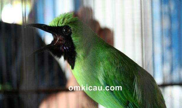 Cara melatih mental burung cucak hijau