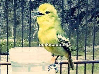 Tips merawat burung cipo/sirtu yang macet bunyi
