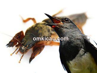 Orong-orong sebagai pakan tambahan untuk kacer