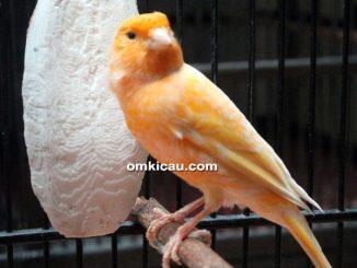 perawatan burung kenari agar tampil prima