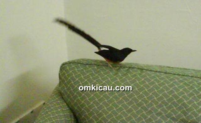 Membiarkan burung terbang bebas dalam ruangan untuk melatih mentalnya