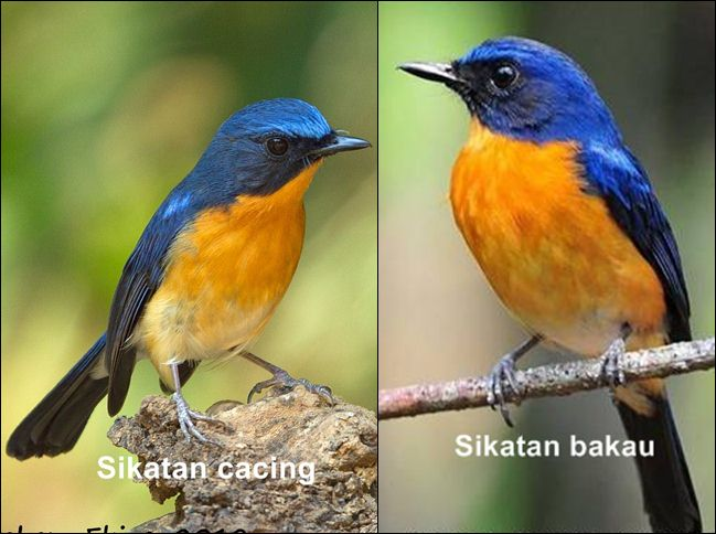Perbedaan tledekan gunung/ sikatan cacing dengan sikatan bakau