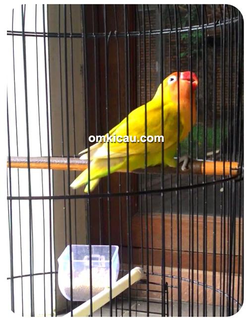 Lovebird Depe milik H Nino
