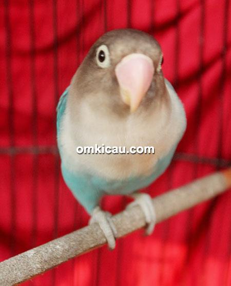 Lovebird Raisa