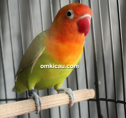 Lovebird Tiara