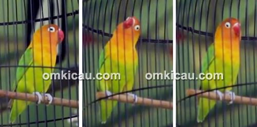 Lovebird Betet milik Om Budi Bogem