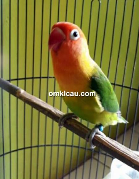 Lovebird Cempaka milik Om Danang