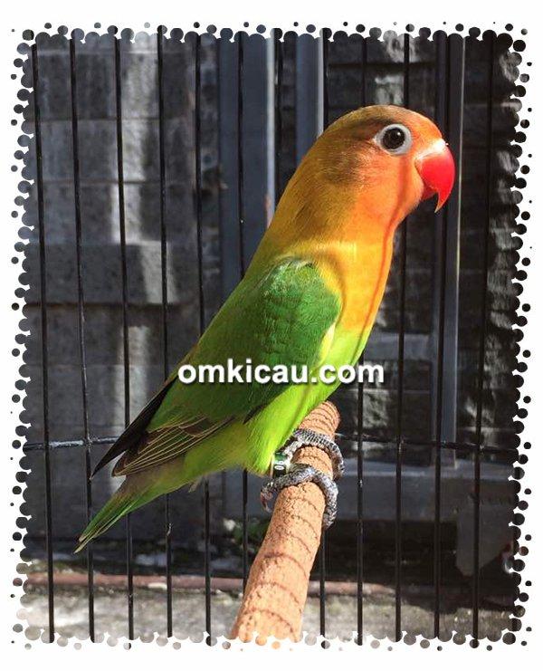 Lovebird Isbek