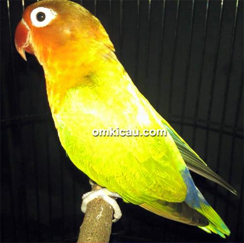 Lovebird Oma