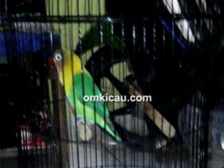 Lovebird Siliwangi