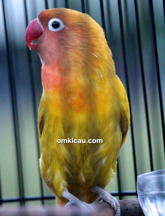 Lovebird Woyo Woyo
