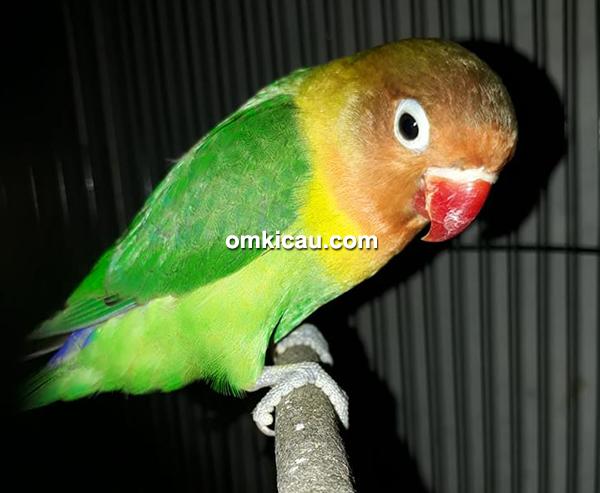 Lovebird Eling