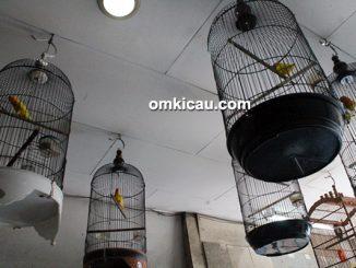 perawatan burung selama musim lebaran