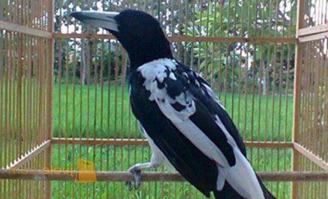 Burung jagal papua yang mulai digemari oleh kicaumania